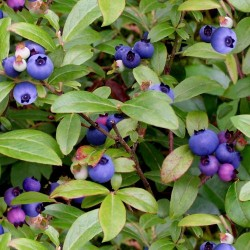 Wild Blueberries - GREEN