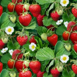 Strawberry Plants - GREEN