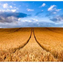 Wheat Field Digital Panel (67cm)