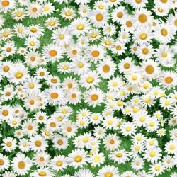 Daisies - MULTI
